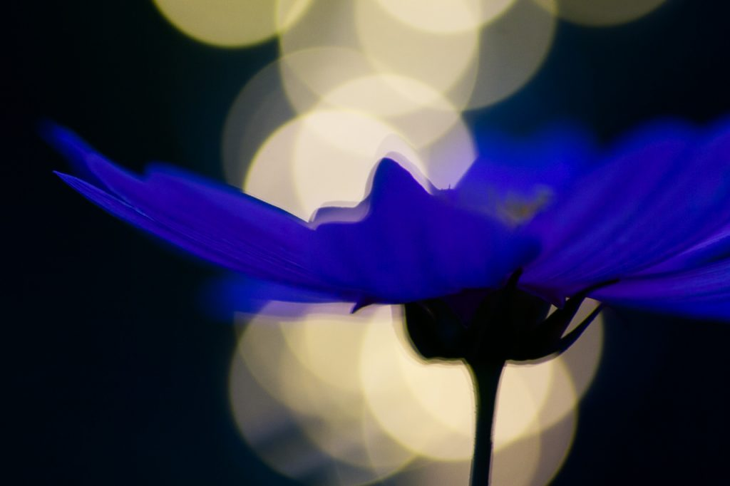 purple flower with fairy light background
