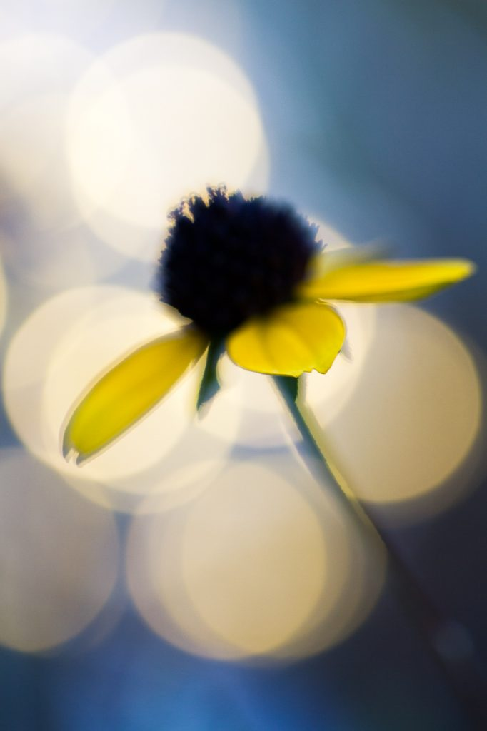 black eyed susan fairy light macro photography