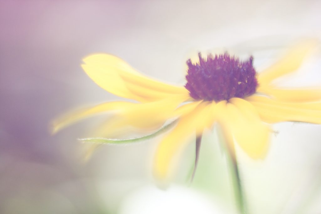 black eyed susan rule of thirds macro photography